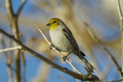 Verdin Auriparus flaviceps, Gilbert Water Ranch