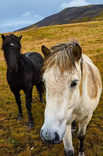 Icelandic horses near Mosfellskirkja