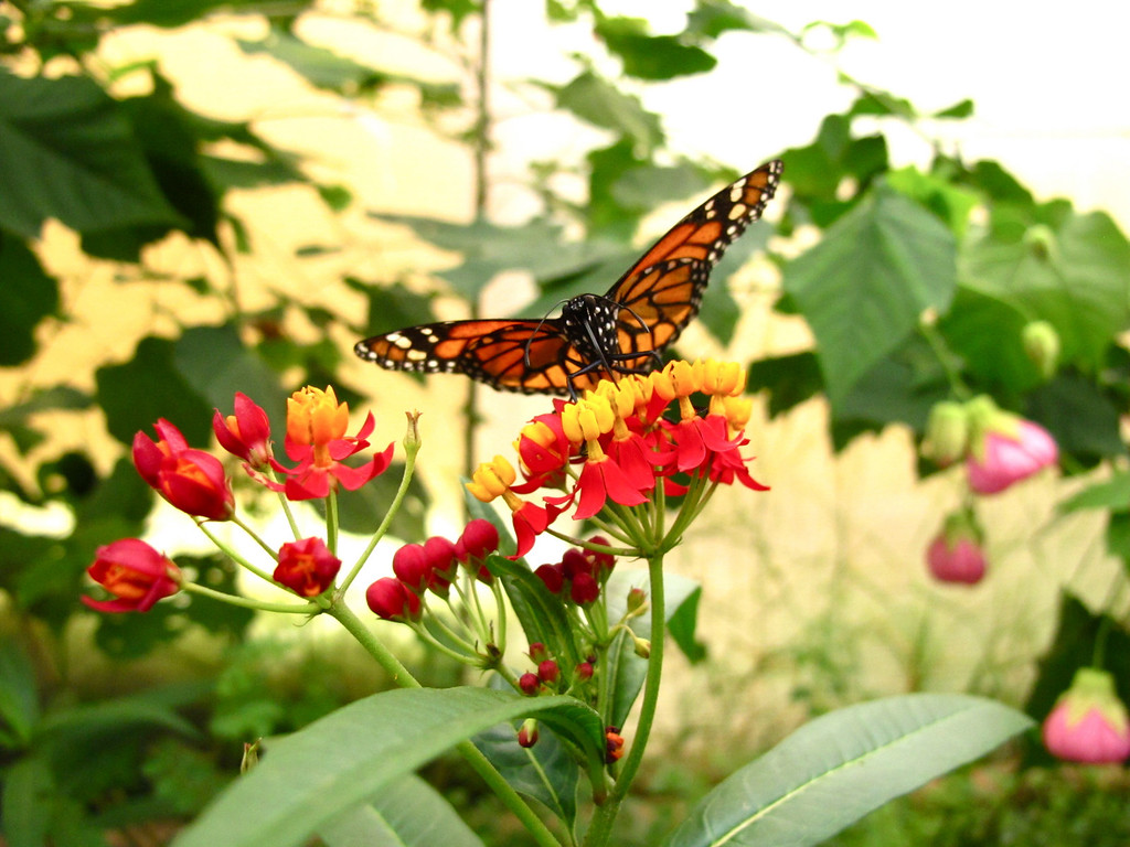 Monarch butterfly at the Bogotá Botanical Garden, Colombia