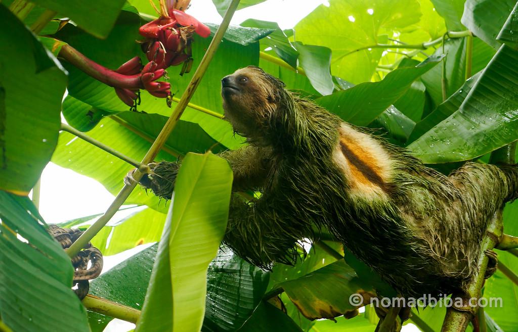 Sloth at Eco Center Danaus in La Fortuna, Costa Rica