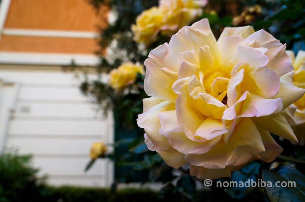 Roman yellow roses