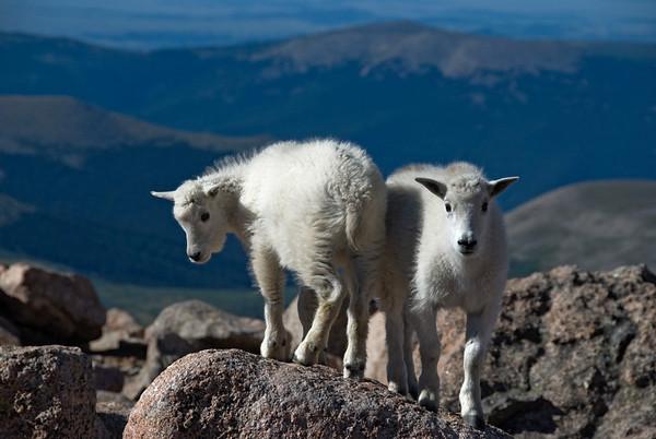 Baby mountain goats, Colorado