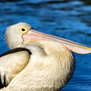 Pelicans on Lake Ginninderra