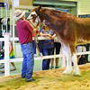 Clydesdale at The Ekka