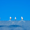 Sea gulls near Lake Ginninderra