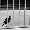 Magpie behind bars
