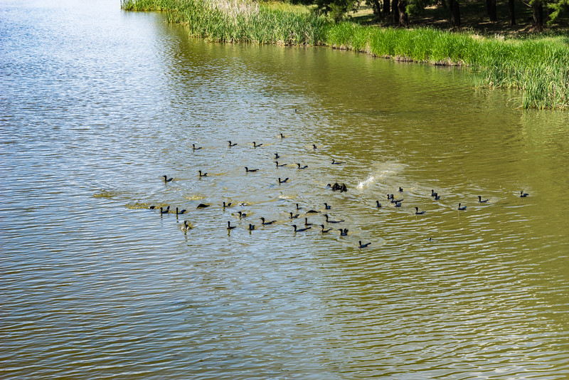 Hungry birds on Lake Ginninderra<br /> #lakeginninderra #belconnen #canberra #cbr #sonyalpha