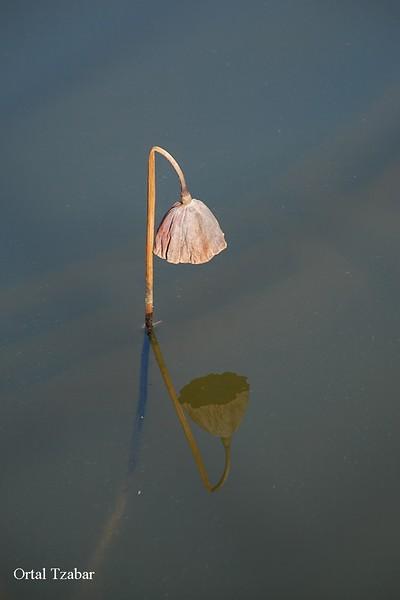 פרח מים