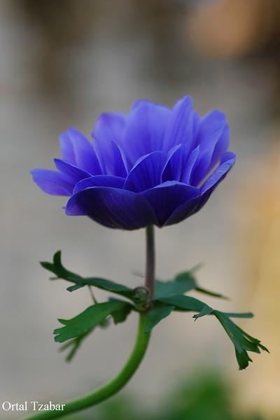 כחול1