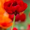 נורית אדומה רקע כתום