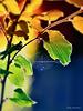 fall foliage-1