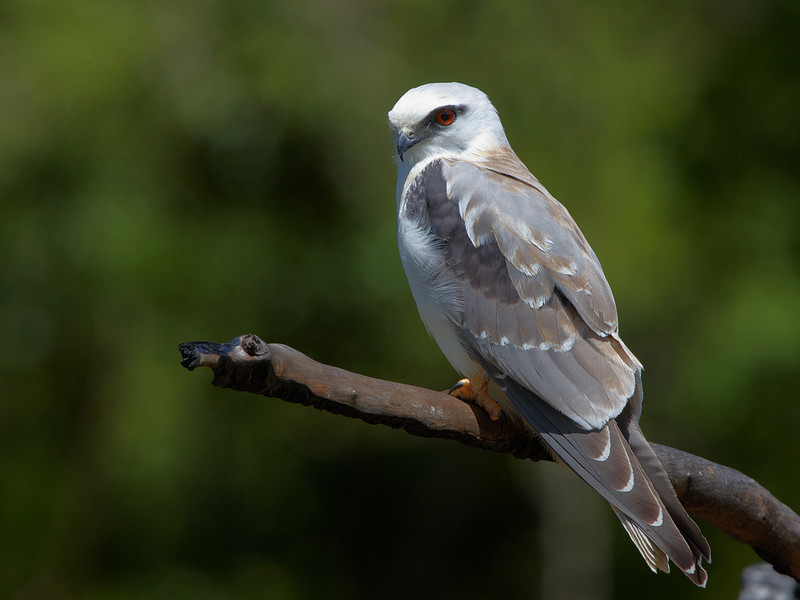 Black Shouldered Kite, Tara Ridge, Booyong