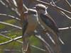 Kookaburras.  Tara Ridge.