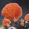 Orange crepidotus