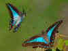 Blue Triangle Butterfly's.  The one flying (with the white strands) is the male.