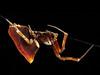 Uloboris congregabilis.  Humped spider - 6mm