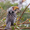 Yellow Billed Hornbills, Kruger National Park, South Africa.