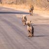Hyena family, Kruger National Park, South Africa