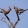 Grey Lourie's, Kruger National Park, South Africa.