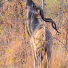 Kudu bull, Kruger National Park, South Africa.