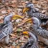 Yellow Billed Hornbills, Kruger National Park, South Africa