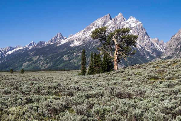 Patriarch Tree, Grand Teton National Park