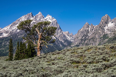 The Patriarch Tree, Grand Teton National Park