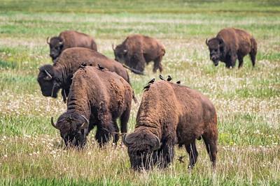 Bison grazing in Grand Teton National Park