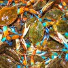 Shelly's crabs