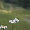 KenHodina_Wk_21_Road_daisies3