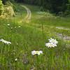 KenHodina_Wk_21_Road_Daisies2