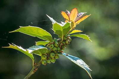 Holly in sunlight
