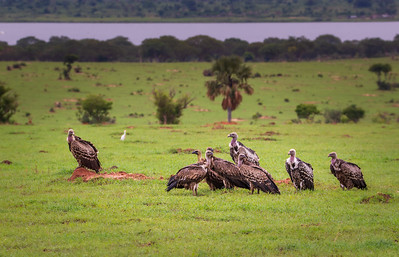 Vultures in the field