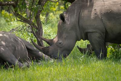 Rhino in sanctuary