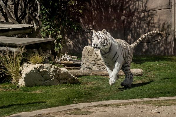 White tiger running