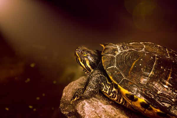 Turtle on a stone