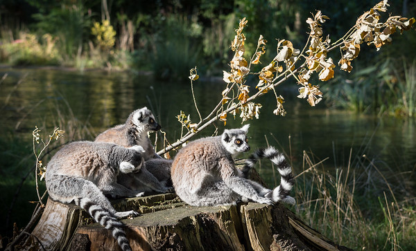 Lemurs on a stump