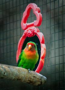 Parakeet before mirror