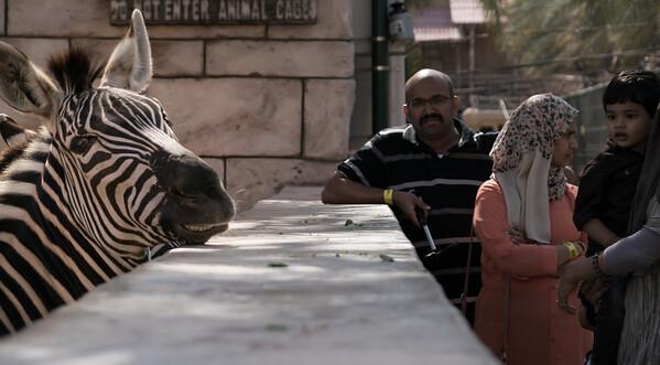 Grinning zebra