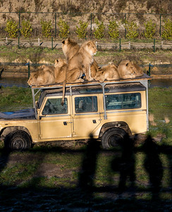 Lions on the roof