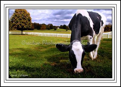 Calf in Pasture - Greeting card
