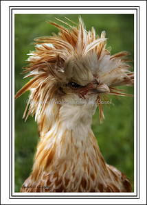 Bad Feather day - Greeting card