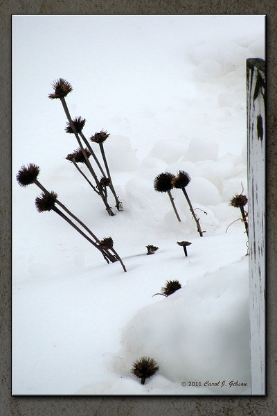 Cone flowers in the snow