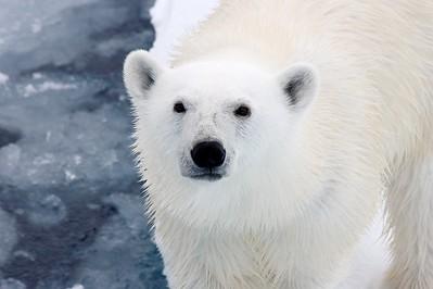 Polar Bear, pack ice off Kong Carls Land, Svalbard, July 2009