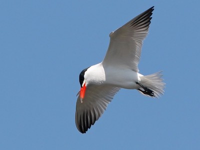 Caspian Tern, Ultima Frontiera, Romania, April 2017