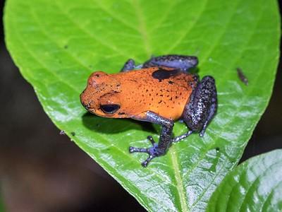 Strawberry Poison Dart Frog, Selva Verde, Costa Rica, April 2018