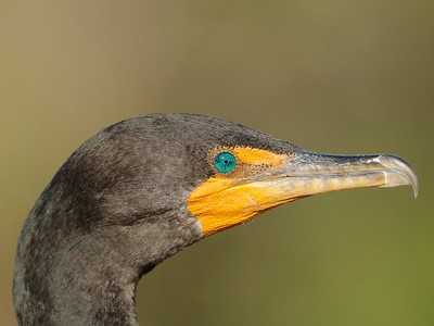 Double-crested Cormorant, Everglades, Florida, USA, February 2012