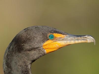 Double-crested Cormorant, Everglades, Florida, USA, February 2012