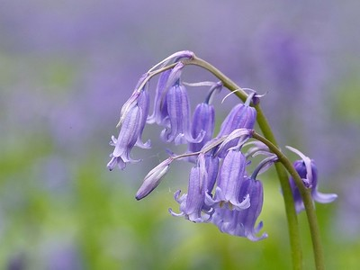 Bluebell, Blickling, Norfolk, UK, April 2009