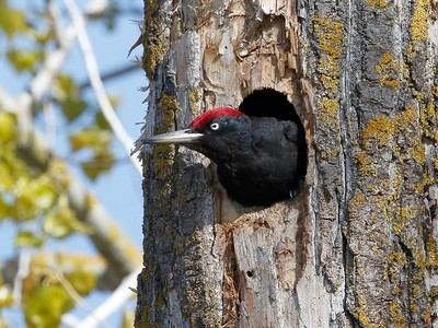 Black Woodpecker, Ultima Frontiera, Romania, April 2017